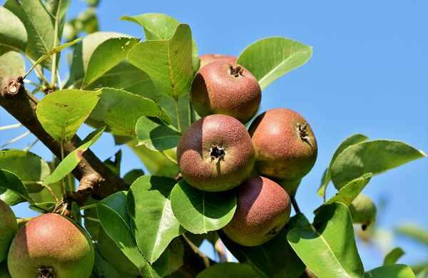 Jansen boomverzorging fruitbomensnoei